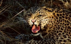 Fondo de pantalla leopardo rugiendo