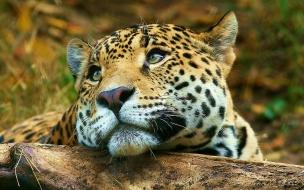 Leopard daydreaming wallpaper big cats animals
