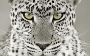 Fondo de pantalla cabeza leopardo