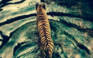 Tiger in disneys animal kingdom