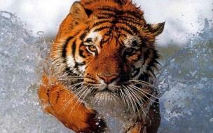 Fondo de pantalla tigre corriendo