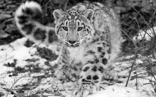 Fondo de pantalla leopardo en blanco y negro cazando