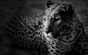 Fondo de pantalla leopardo en blanco y negro