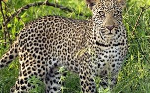 Fondo de pantalla leopardo asustado