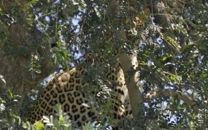 Fondo de pantalla leopardo escondido
