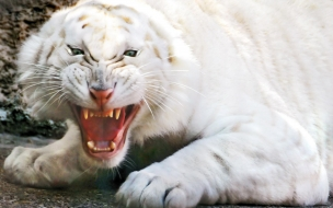 Fondo de pantalla tigre blanco rugiendo