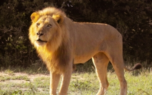 Fondo de pantalla leon mirando