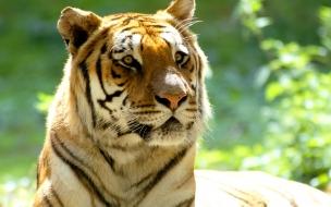 Fondo de pantalla tigre con ojos hermosos