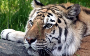 Fondo de pantalla tigre viejo descansando