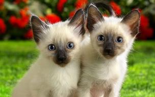 Fondo de pantalla gatos siameses