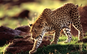 Wild animal leopard wallpaper