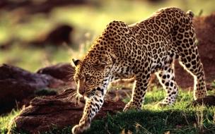 Wild animal leopard wallpaper