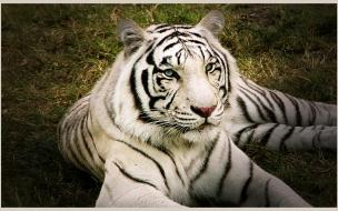 Fondo de pantalla tigre blanco hermoso