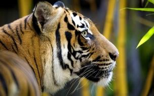 Fondo de pantalla tigre cazando