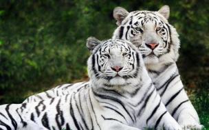 Fondo de pantalla pareja de tigres blancos
