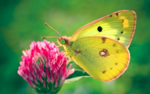 Colias hyale butterfly wide