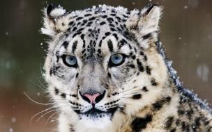 tigre blanco ojos azules