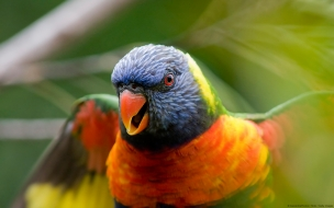 Rainbow lorikeet parrot wide