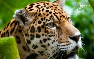 Jaguar the big cat