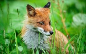 Fox wide