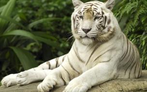 Fondo de pantalla tigre de bengala descansando