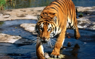 Prowler bengal tiger