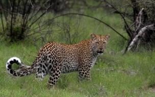 Fondo de pantalla leopardo en campo