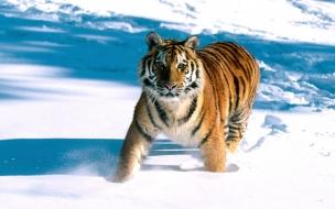 Majestic grace siberian tiger