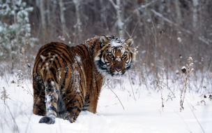 Tiger in snow normal