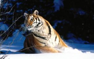 Wintery scuddle siberian tiger normal