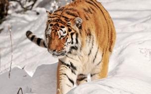 Fondo de pantalla tigre caminando en nieve