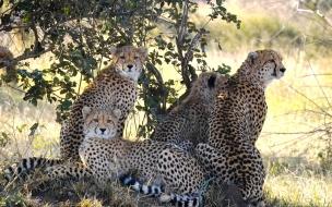 Fondo de pantalla varios guepardos