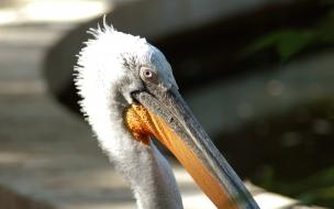 Cabeza de Pelicano