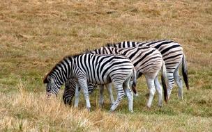 Cebras Pastando