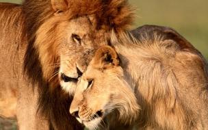 Fondo de pantalla leon y su pareja