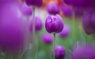 Purple tulips wide