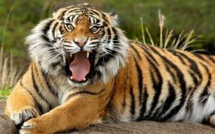 Fondo de pantalla tigre viejo enojado