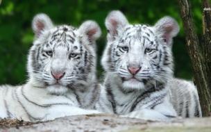 Fondo de pantalla tigres blancos