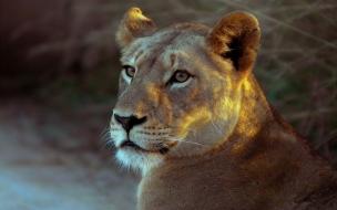 Fondo de pantalla leona atenta