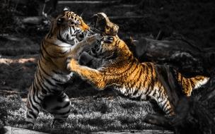 Fondos de pantalla tigres jugando