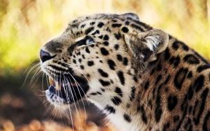 Fondo de pantalla cabeza de leopardo