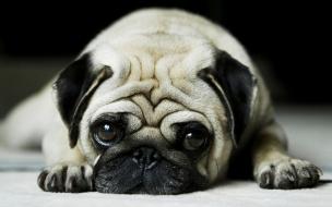Fondo hd de perro miradote