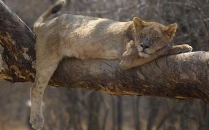 Fondo de pantalla leona en un tronco