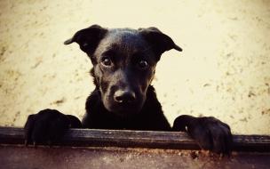 Fondo de pantalla de Perro Negro Mirando