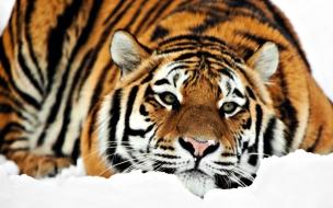 Fondo de pantalla tigre en reposo