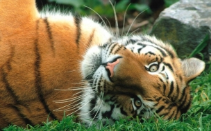Animals wallpapers siberian tiger
