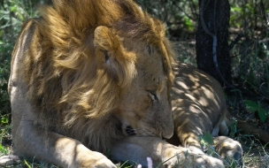 Fondo de pantalla leon viejo cansado