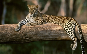 Fondo de pantalla leopardo en arbol