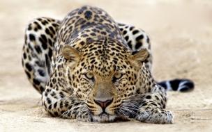 Fondo de pantalla leopardo acostado
