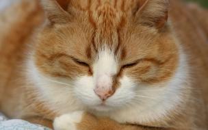 Fondo de pantalla gato gordo